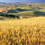 Wheat and celiac