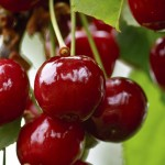 Cherries - an aid to pain relief